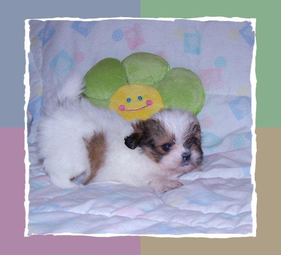 tiny shih tzu puppies for sale arizona akc shih tzu breeder - 576×523